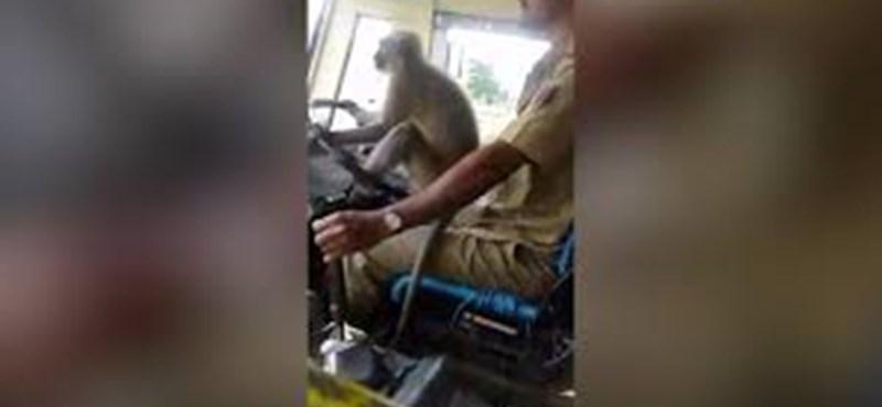 """Videó – Felfüggesztettek egy sofőrt Indiában, mert hagyta hogy egy majom """"vezesse"""" a buszt"""