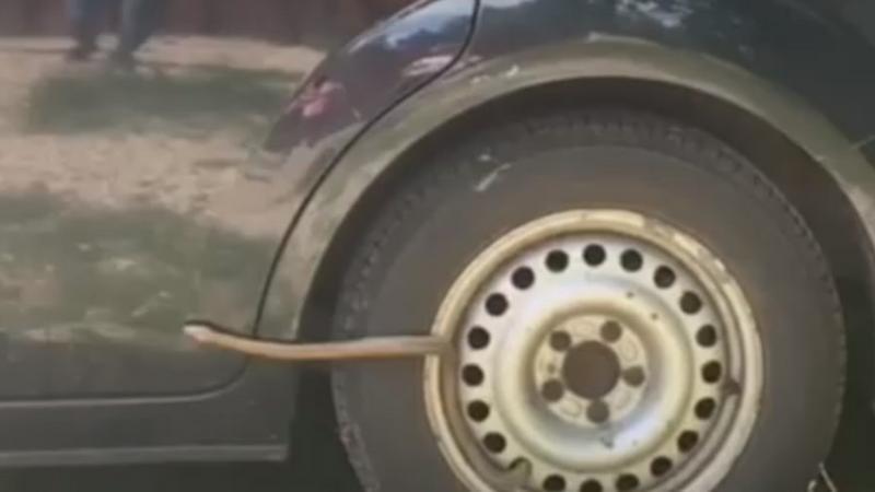 Videó – Siklókat talált az autójában egy budapesti nő