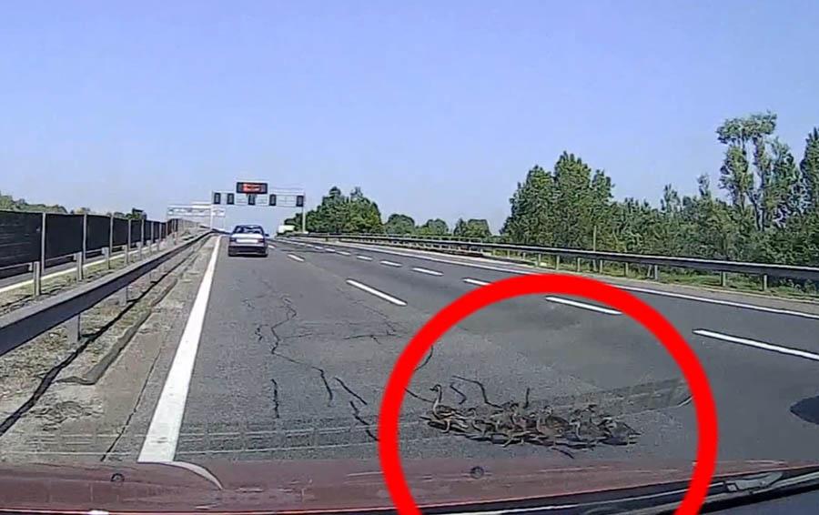 VIDEÓ: Kacsacsalád totyogott át az M0-áson, nem sokon múlott a baleset