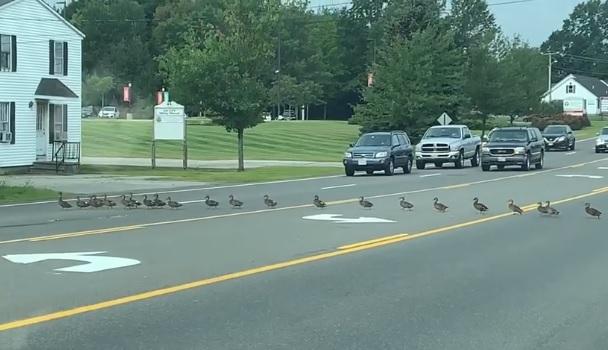 Videó – Olyan szabályos sorban kelt át 30 kacsa az úton, akár egy oviscsoport