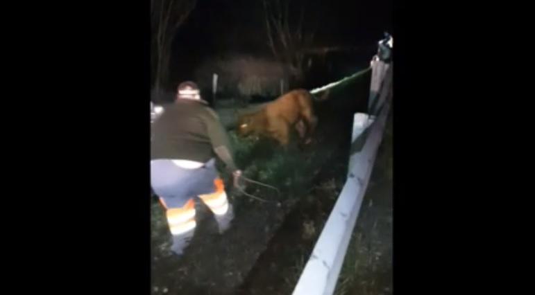 VIDEÓ: Petárdáktól megrémült bikák szöktek fel az M5-ös autópályára szilveszter éjjel