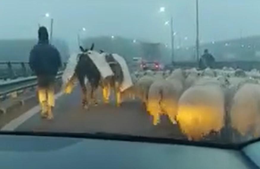 VIDEÓ: A román juhász, aki az autópálya hídján terelte át a nyájat