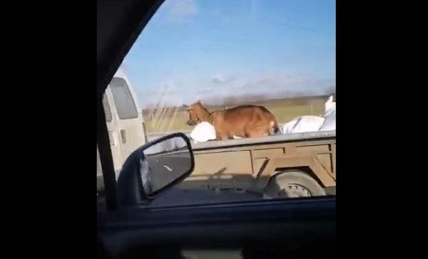 VIDEÓ: Elképesztő! 110-es tempóval, utánfutón szállítottak egy állatot az M0-áson