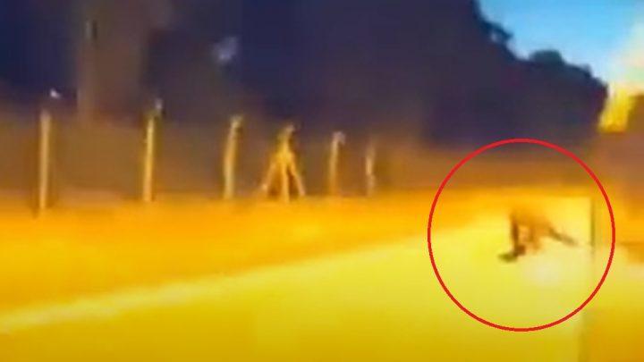VIDEÓ: Ezt tudta a Tesla Autopilot, amikor egy vaddisznóval találkozott a kocsi