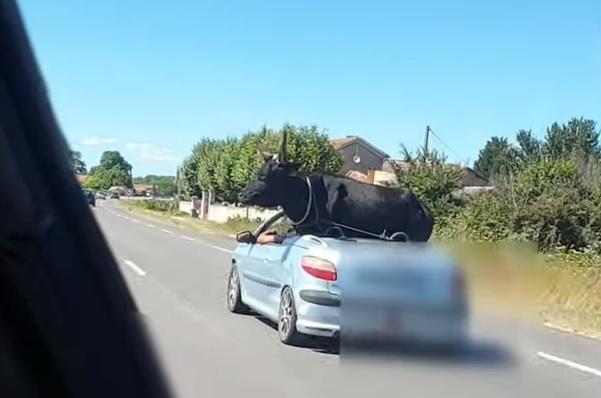 VIDEÓ: Nem mindennapi látvány – Bivalyt szállítottak egy cabrióval