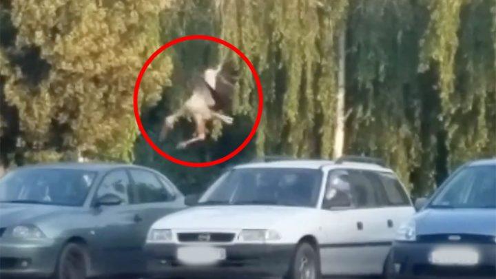 VIDEÓ: Jól elvolt a gólya hosszú percekig a békéscsabai Lidl parkolóban :)