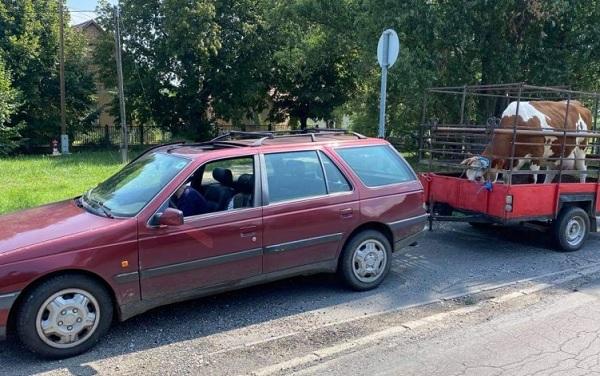 Tehénnel az utánfutóján, 40 km/h-val döcögött az M7-esen egy autós