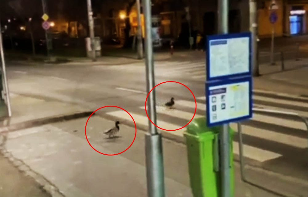 VIDEÓ: Óriás jófej kacsákról készült felvétel a 13. kerületben