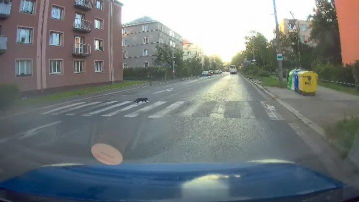 VIDEÓ: Sokaknak lenne mit tanulnia ettől a macskától, no meg az autós előtt is le a kalappal